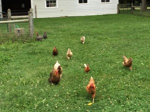 Chicken Flock Pursuit