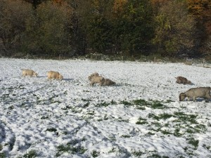 Goats grazing in the snow.