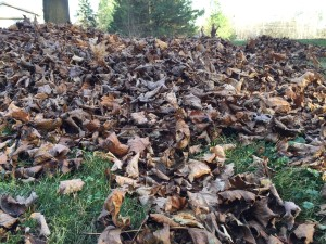 An example of the leaves in the yard before mowing / raking.