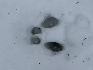 Rabbit Tracks Close-Up