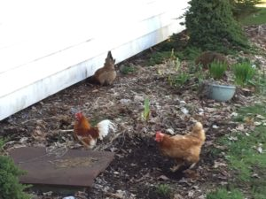 Chickens digging in the flower beds.