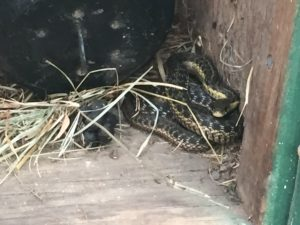 Another garter snake hanging out in a shed.