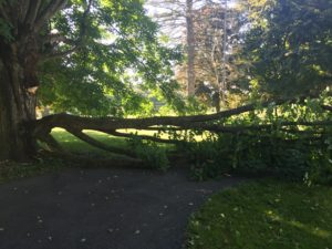 A large piece of one of our old maple trees broke off in the middle of the night.