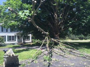The tree after a couple of hours of work to remove all the small branches and leaves.