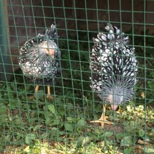 Hens from the fair in the chicken tractor.