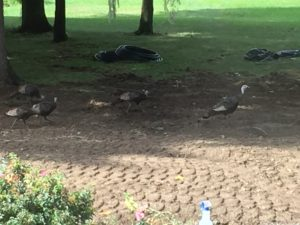turkeys-2